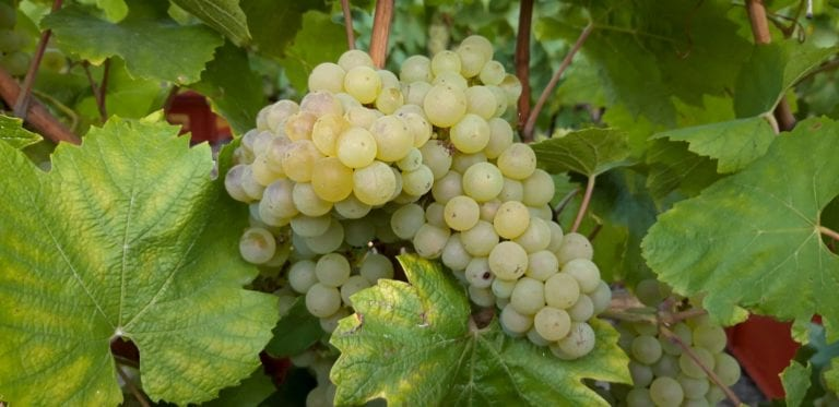 grappes-chardonnay